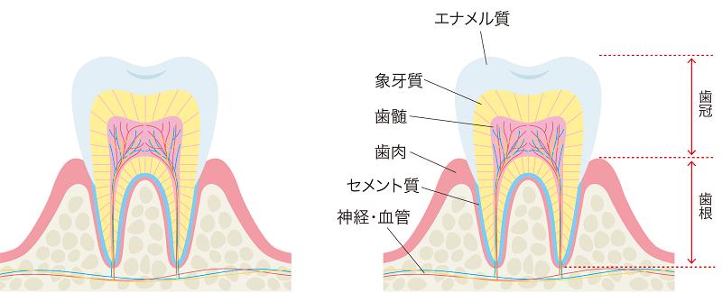 歯の仕組みについて
